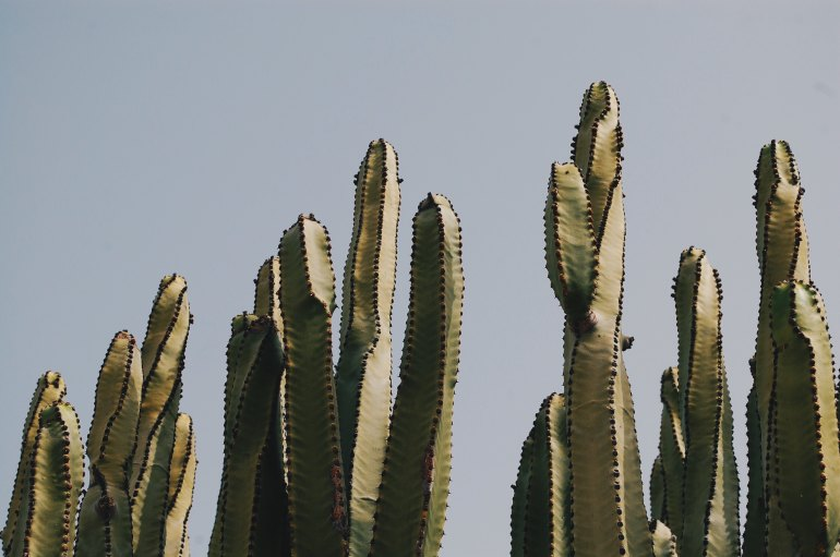 Mexican cacti