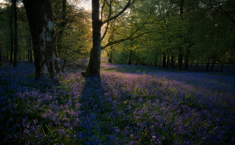 Bluebells in English forest at sunset